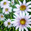 Daisy Cluster